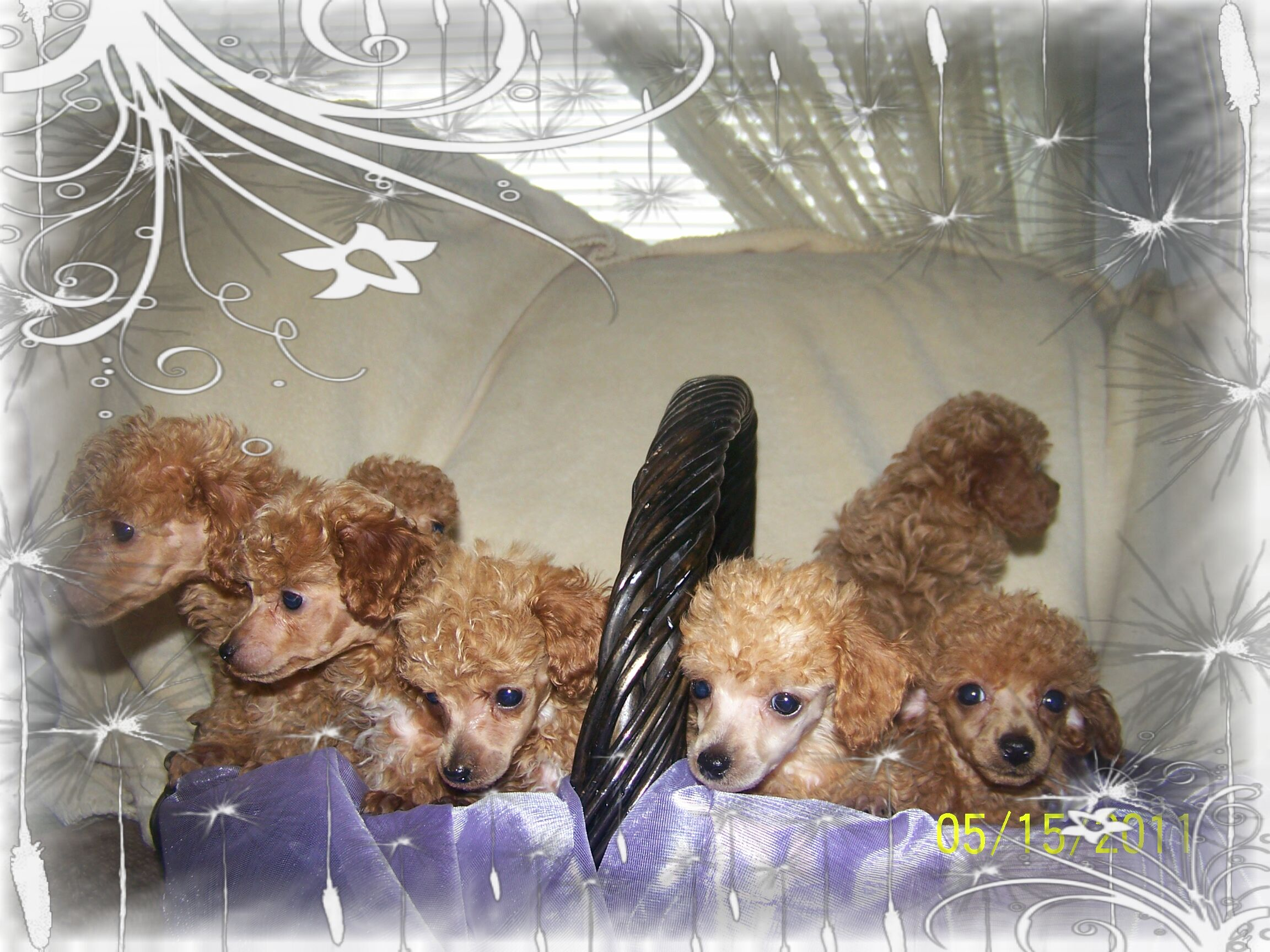 Lady Ds Oodles Of Poodles Oregon Washington Toy Poodles